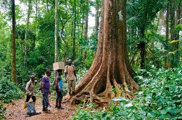 Palisanderbaum im regenwald  Regenwald Report 02/2017 - Mit den Regenwald-Kämpfern unterwegs ...