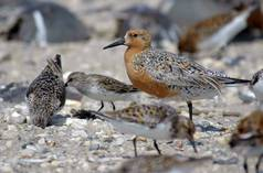 Zugvogel Red Knot