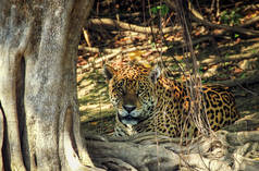 Jaguar in Mato Grosso do Sul (Brasilien)