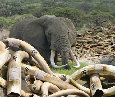 Japan Report Ivory Cover Image EIA