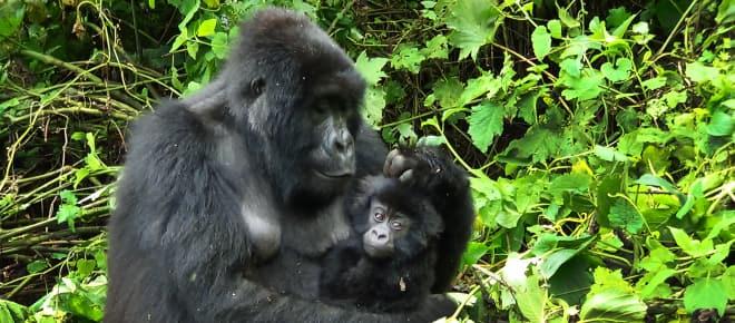 Gorilla mit Jungen in Virunga
