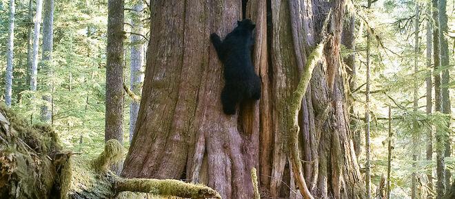 Schwarzbär klettert an einem Baum, Vancouver Island, British Columbia, Kanada