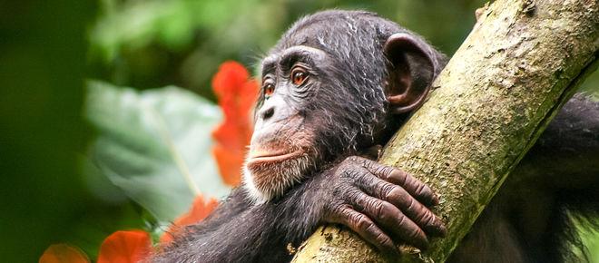 Schimpanse in Liberia