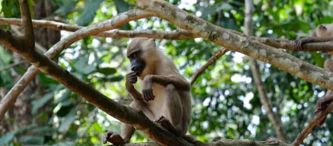 Primat auf Baum