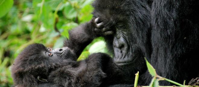 Gorilla-Mutter schmust mit Baby