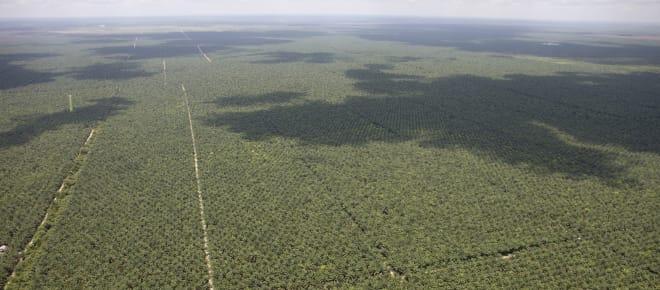 Luftaufnahme von sich bis zum Horizont ausdehnenden Ölpalmplantagen