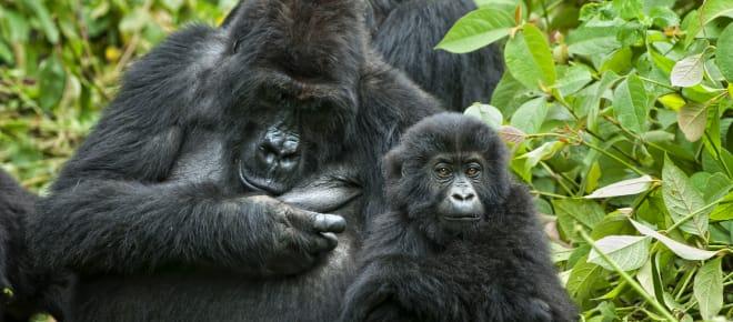 Gorilla mit Jungem