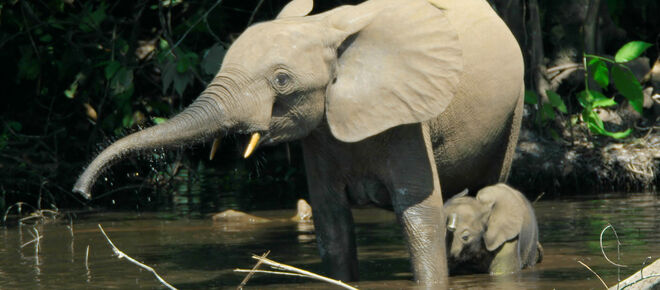 Waldelefant mit Jungem