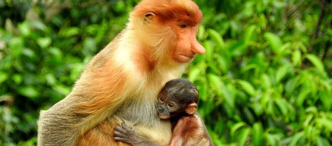Nasenaffe mit Baby