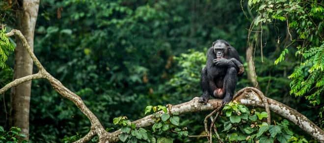 Bonobo auf dem Zweig eines Baumes in Kongo