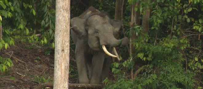 Waldelefant auf Sumatra