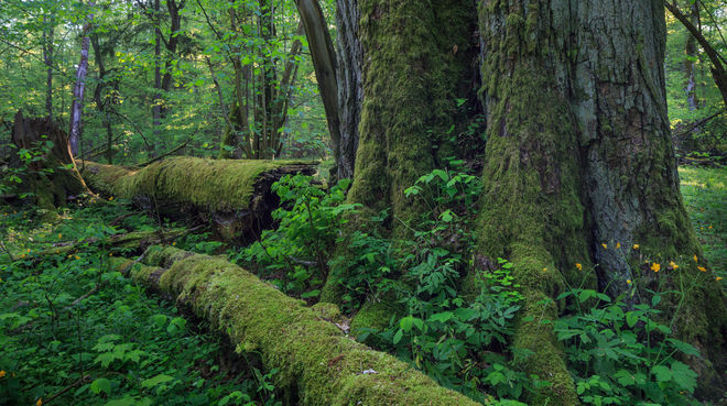 ein dicken Baum, umgefallene Bäume verrotten Bialowieza Wald in Polen