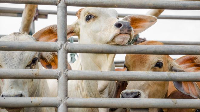 Rinder auf Lkw