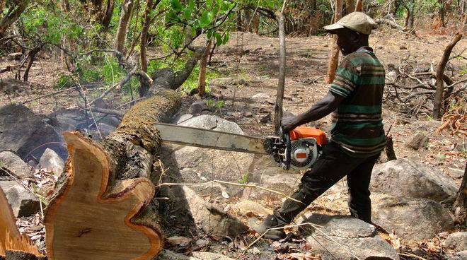 Palisanderbaum im regenwald  Die Bäume bluten! Legt den Holzfällern das Handwerk! - Rettet den ...