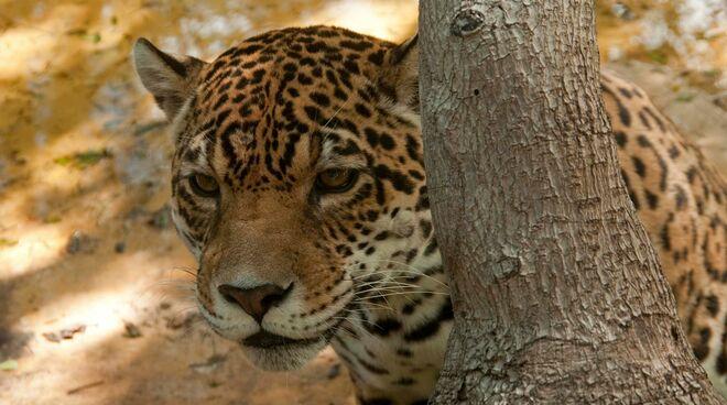 Ein Jaguar lauert hinter einem Baumstamm