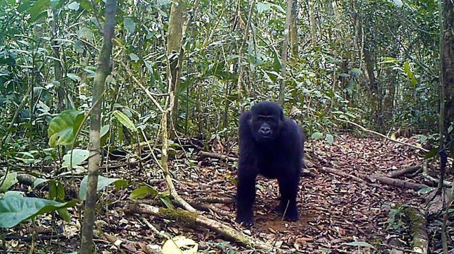 Gorilla im Ebo Forest, Kamerun