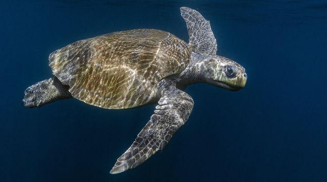 Olive Ridley Meereschildkröte