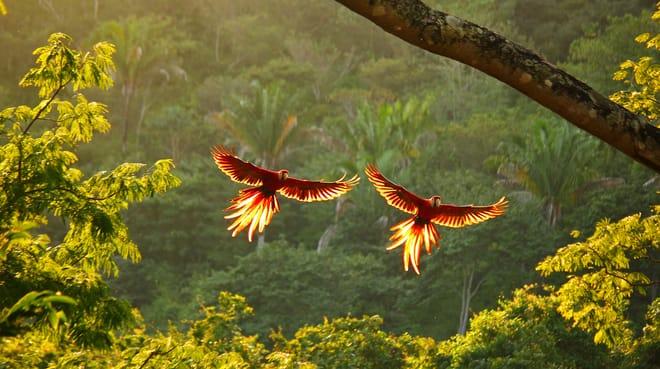 zwei rote Aras fliegen mit ausgebreiteten Flügeln über den Regenwald