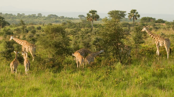 Giraffe in Murchison-Falls-Nationalpark, Uganda