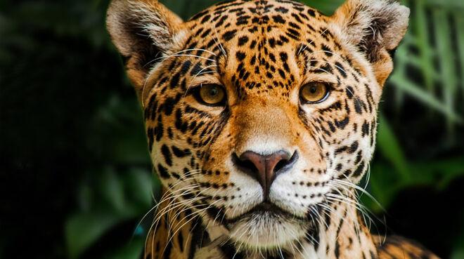 Jaguar in Indio Maiz Reserva Biologica