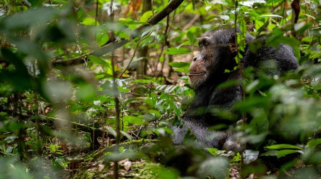 Schimpanse in Bossou, Guinea