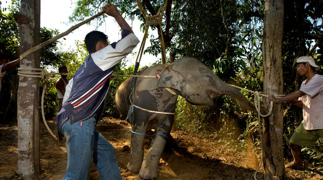 Gewalt und Qual an Elefant