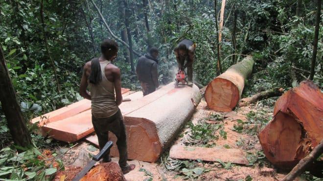 Drei Holzfäller zerlegen einen frisch gefällten Baum