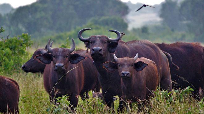 Kaffernbüffeln in Uganda
