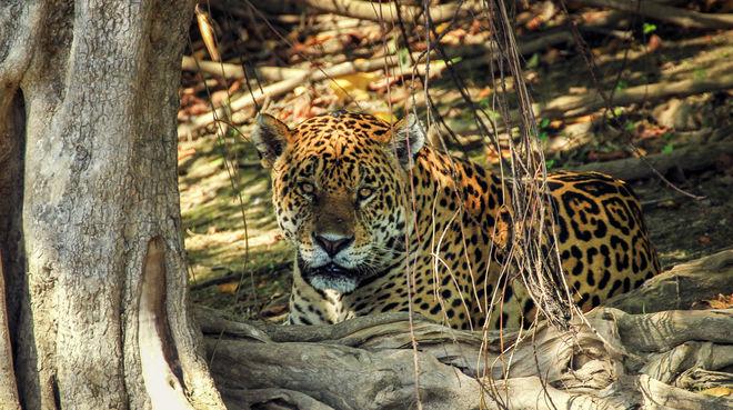 Jaguar in Mato Grosso do Sul (Brasilien)