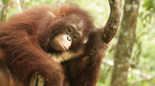 Orang-Utan in Zentralkalimantan (Borneo)