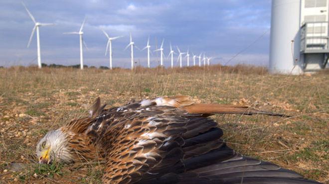 Toter Rotmilan vor Windkraftwerken