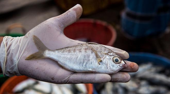 Whipfin-Silver-Biddy Fisch