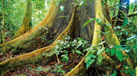 Regenwald Borneo