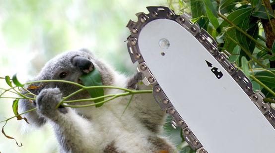 Montage: Koala & Motorsäge