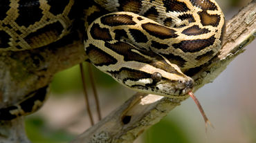 Dunkler Tigerpython in den Everglades, Florida