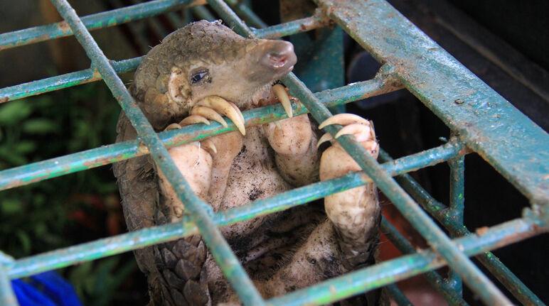 Schuppentier in einem Käfig im Riau Natural Resource Conservation Centre, Indonesien.