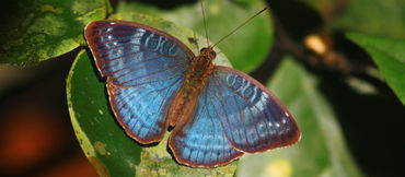 Schmetterling Charaxes