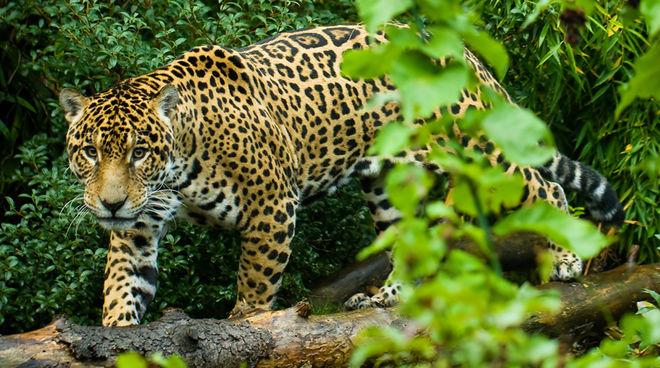 Jaguar im Regenwald