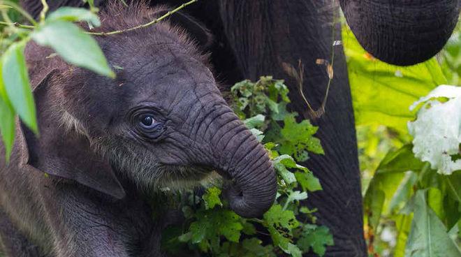 Leuser - Elefanten Kalb