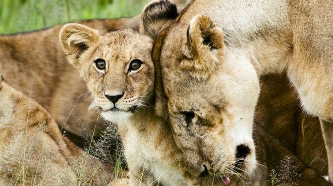Ein Löwenbaby kuschelt mit seiner Mutter
