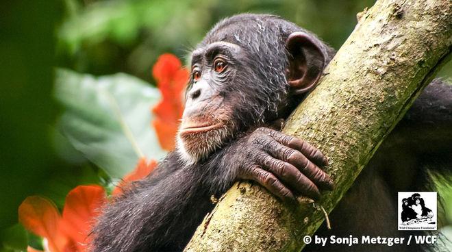 Ein Schimpanse in Liberia