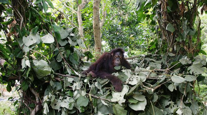 Orang-Utan im Schlafnest aus Blättern in Astgabel auf Borneo