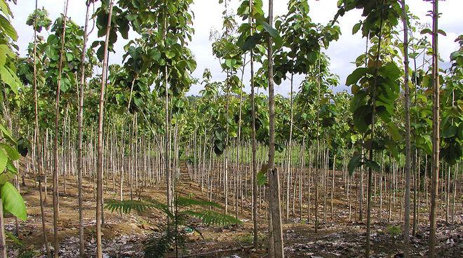 Teakbaum im tropischen regenwald  RegenwaldReport 01/1997 - Teak – Der verschleierte Raubbau ...