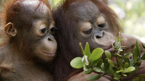 Zwei Orang-Utan-Junge spielen mit Zweig