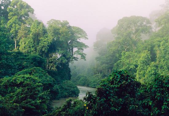 Palisanderbaum im regenwald  Palisanderbaum Im Regenwald: Palisanderbaum im regenwald ambiznes.