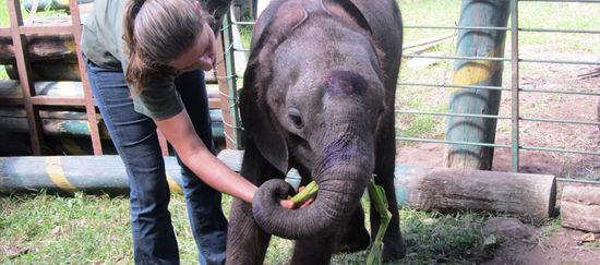 Ein Elefanten-Junges steht neben einem Pfleger der ihm essen in das Maul steckt