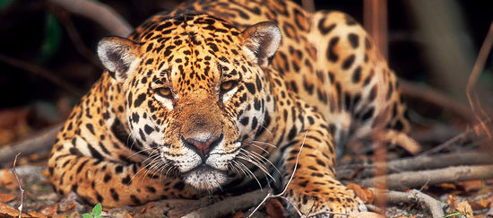 Ein Jaguar liegt im Regenwald auf dem Boden und beobachtet die Kamera