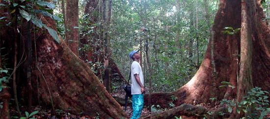 Ein Mann steht zwischen zwei Urwaldriesen