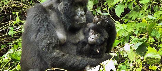 Gorillamutter mit Baby im Arm ruht in Waldlichtung
