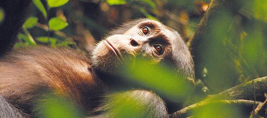 Der Schimpanse Kuba liegt im Wald und schaut nach oben